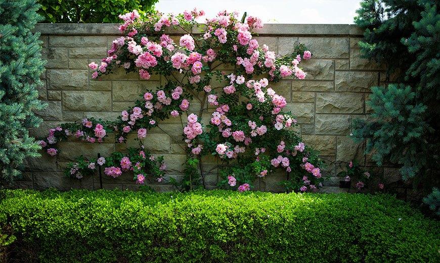 Многолетняя роза с хвойниками