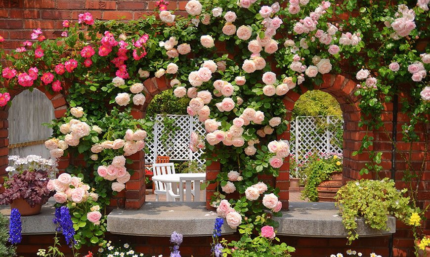 Стена из многолетних роз