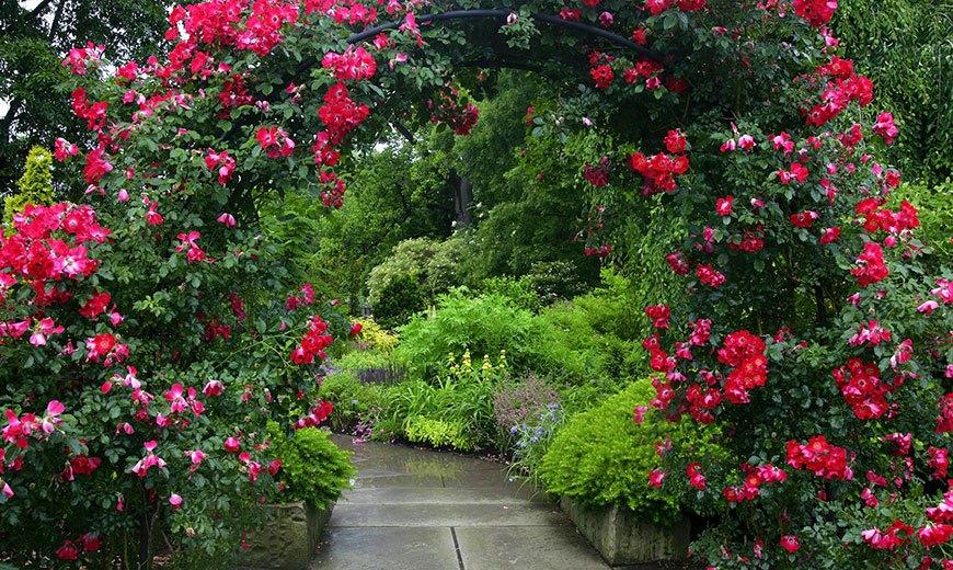 Многолетние розы в дизайне сада