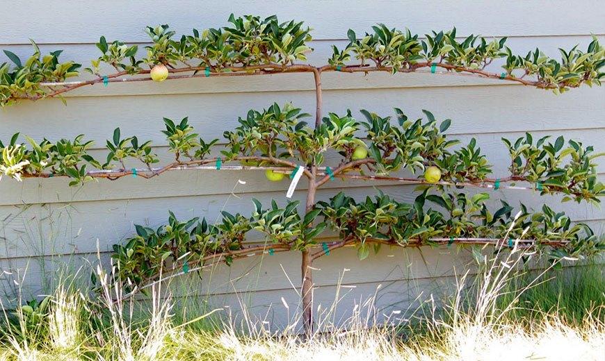 Шпалеры для яблонь