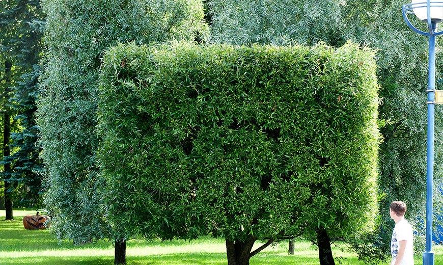 Стрижка деревьев необычной формы