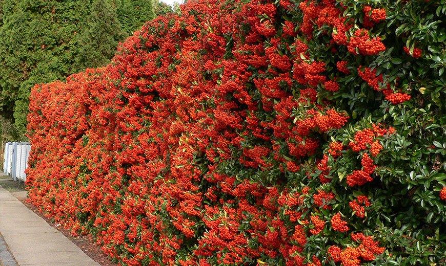 Живая изгородь из ягодных кустарников