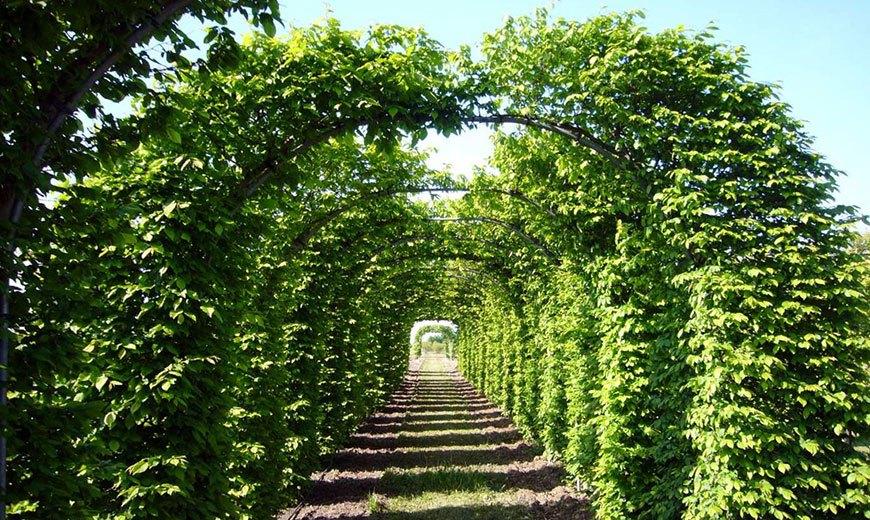 Зеленый коридор из арок