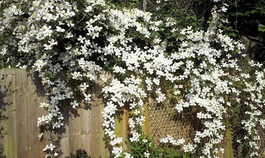 Мелкоцветковый клематис