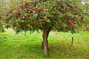 Раскидистая яблоня