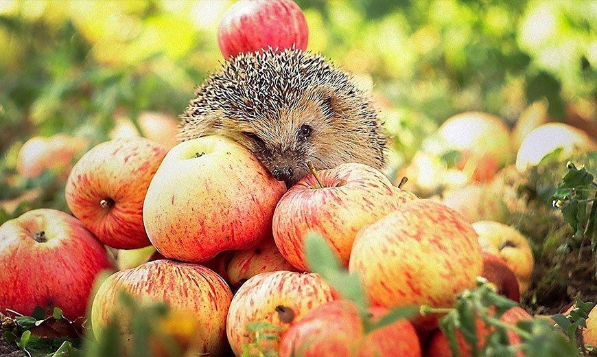 Любимые яблоки