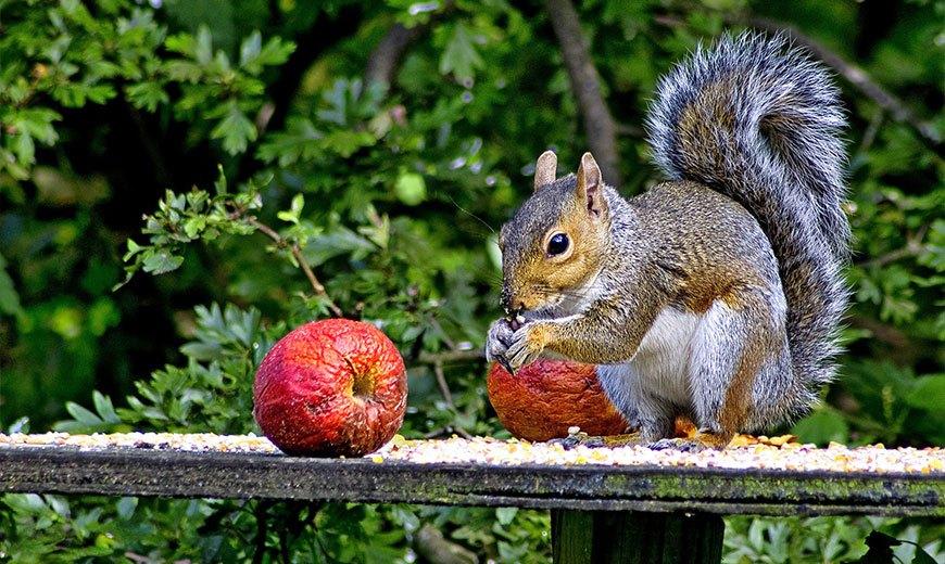 Яблоки для белок
