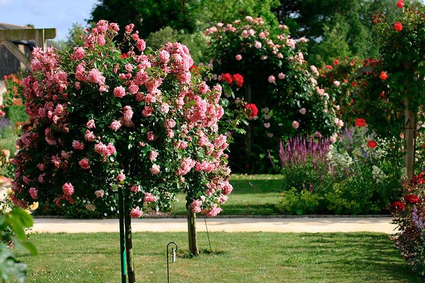 роза - обрезка весной