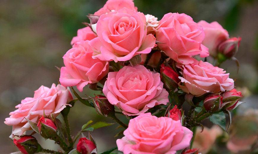 Розы - крупные соцветия