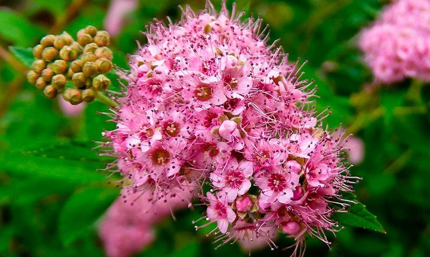 цветущая спирея - весенняя обрезка
