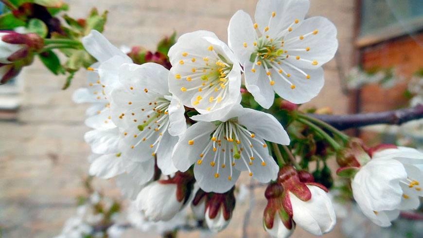 Цветение Василисы