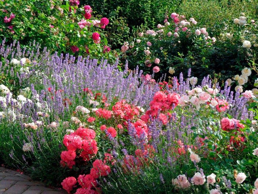 лаванда с низкими розами