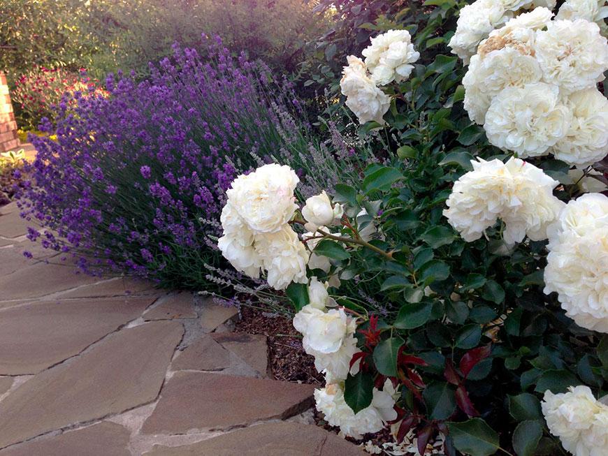 лаванда с белой розой
