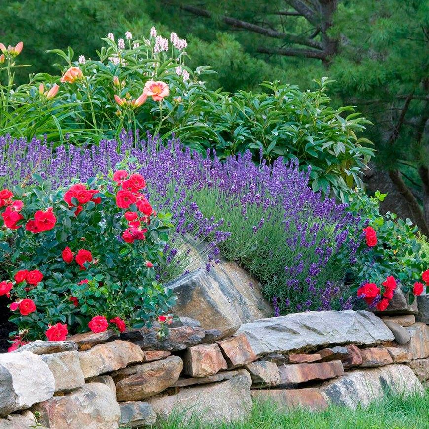 лаванда с красными розами