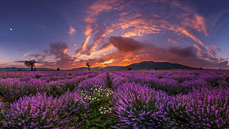 лавандовое поле на закате