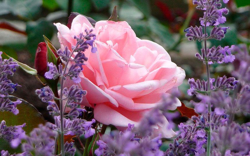 лаванда с розой