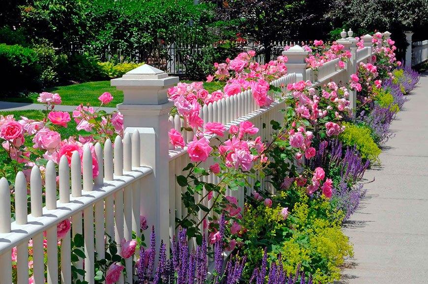 лаванда с плетистыми розами