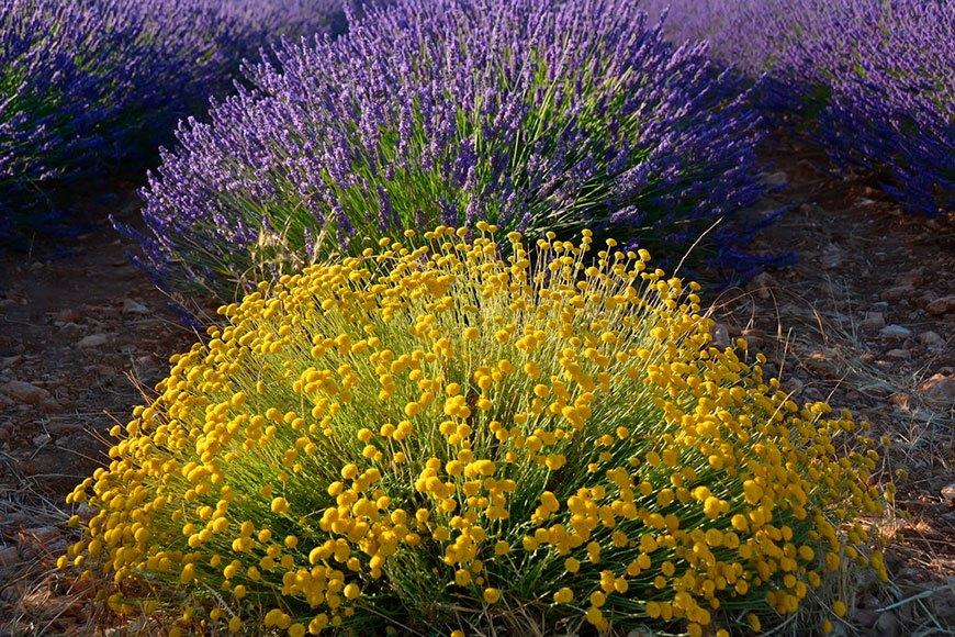лаванда с желтыми цветами