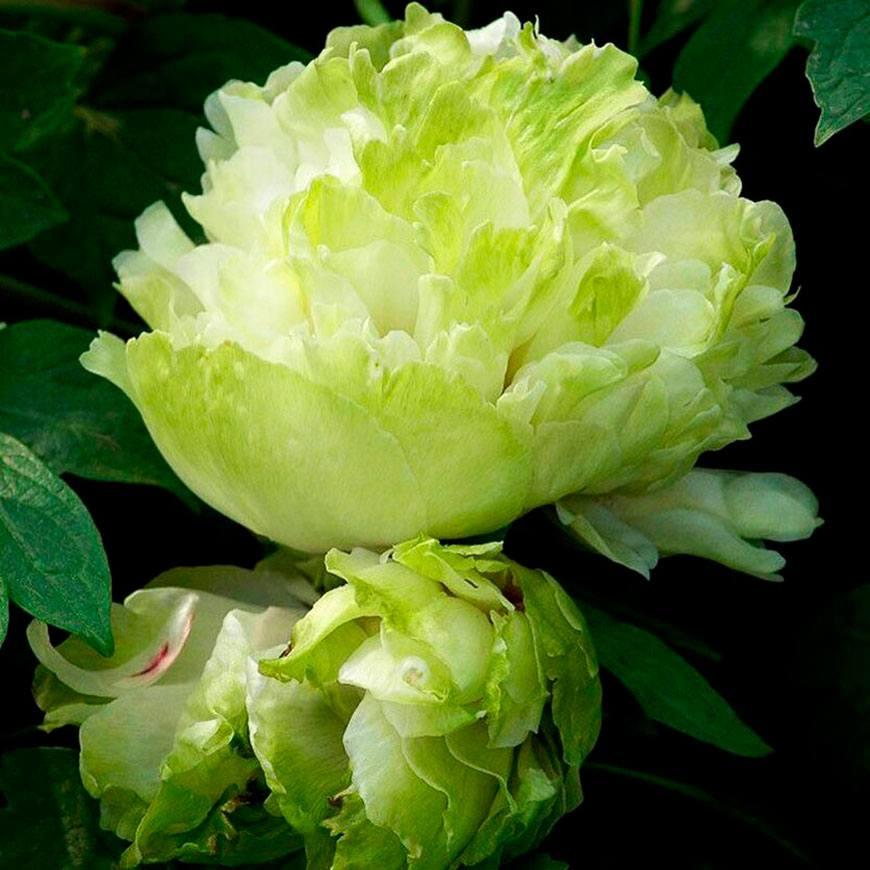 Зеленый шар (Lu Mu Ying Yu)