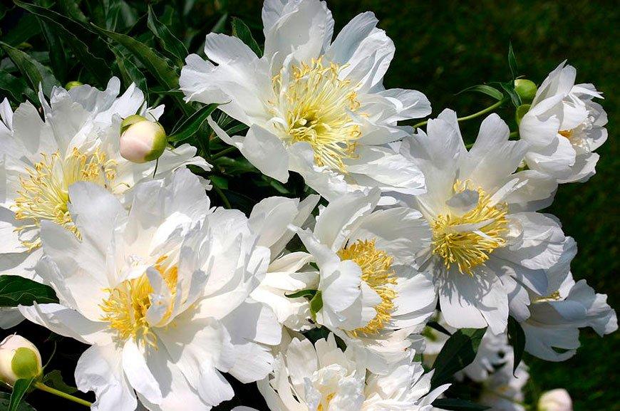 японский пион Лотус Куин (Lotus Queen)